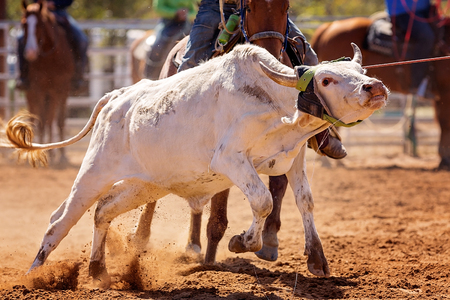 Close up of the face of a calf lassoed at a country rodeo competition