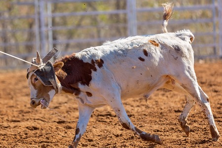 Close up of the face of a calf lassoed at a country rodeo competition 写真素材