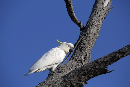 Sulphur-crested white cockatoo sitting on a branch Stock Photo