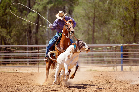 A cowboy riding a horse trying to lasso a running calf during a team event at a country rodeo Stock Photo