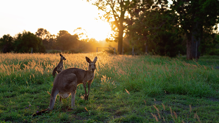 Two Australian kangaroos standing in a field bathed in the golden light of sunset, just before dusk 스톡 콘텐츠
