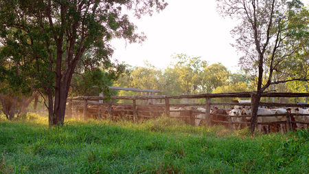 Cattle penned in yards in late afternoon light ready for droving in the morning