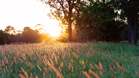 A field of seed grass in the golden light of sunset Stock Photo
