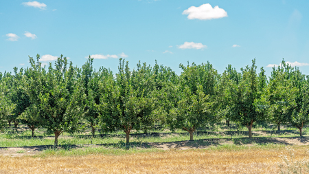 A crop of healthy juicy citrus fruits being grown on an Australian agriculture farm Stok Fotoğraf