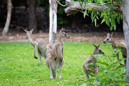 A family of Australian kangaroos in a wildlife park