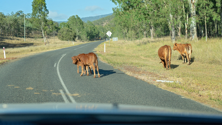 Cows wandering along a highway in Australia Imagens