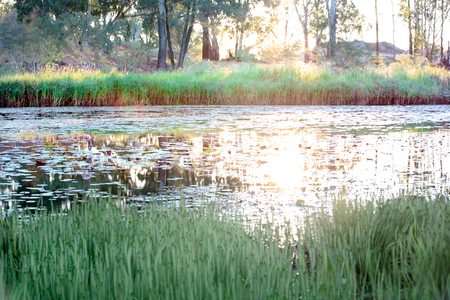 The setting sun shining across a lily pond and making it glow with light