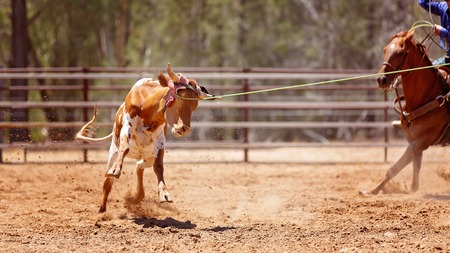 Australian team calf roping sanctioned animal sport with safety regulations at country rodeo