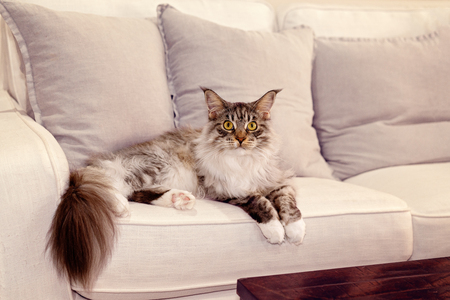 Beautiful Main Coon fully grown female cat posing on a lounge soft, grey background, direct stare