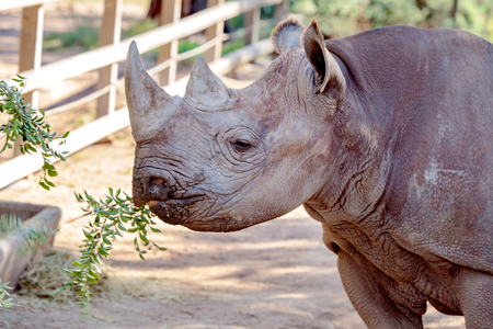 An endangered black rhinoceros standing in the shade, chewing