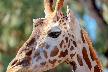 Tallest living terrestrial animal and largest ruminants are the distinctively patterned giraffe.