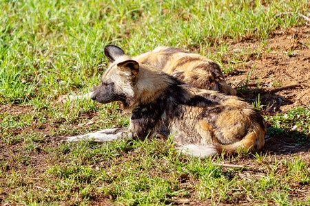 A pair of African wild dogs resting on grass
