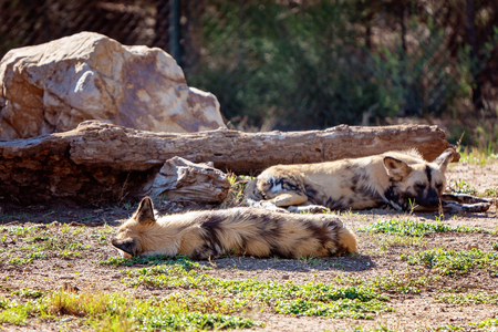 African wild dogs lying around resting