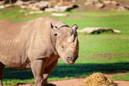 Close up of an endangered white rhinoceros in captivity