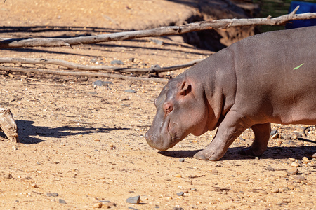 Close up of a hippopotamus in captivity Фото со стока - 120671833
