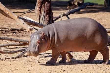 Close up of a hippopotamus in captivity