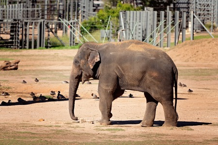 An elephant in captivity - the largest living terrestrial animal