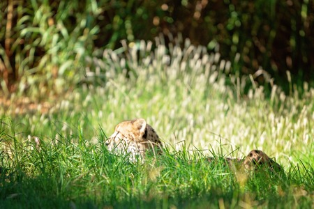 A hunting cheetah lying in wait watching, in long grass in the bush Фото со стока - 120671840