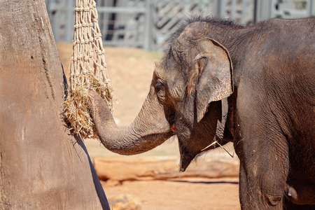 An elephant eating in captivity - the largest living terrestrial animal
