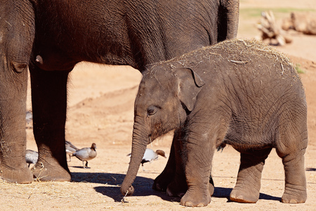 A baby elephant playing around its mothers hind legs