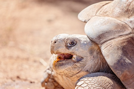 Close up of the open mouth of a galapagos tortoise