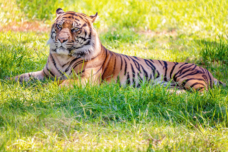 A Sumatran tiger resting on the grass in the shade after feeding