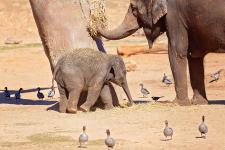 A female elephant eating while its baby plays beside it