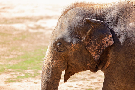 Close up of the head and trunk of an elephant