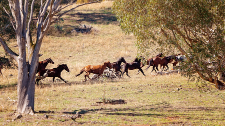 A herd of strong and fast Australian wild horses racing across the plains of a beautiful valley