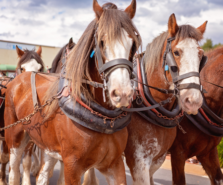 Draft horses in harness pulling a wagon in a street parade - close up of their heads - two