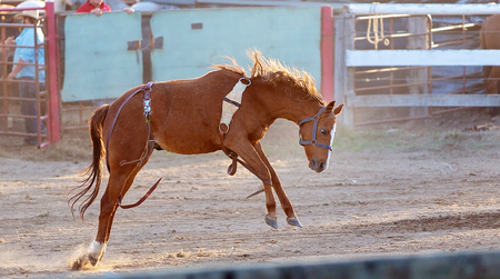 bucking bronc horse has dislodged cowboy rider at country rodeo