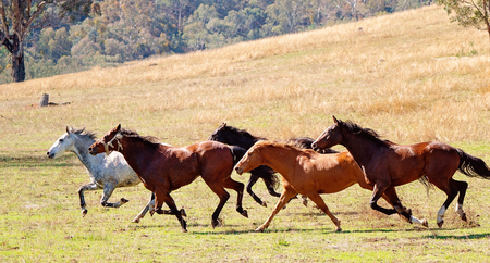A herd of strong and fast wild horses racing across the plains of a beautiful valley
