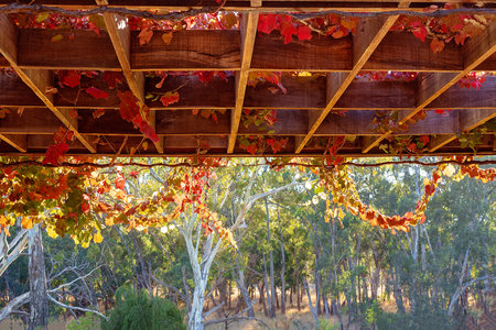 Red and yellow grape vines hanging from a trellis above a beautiful river scene