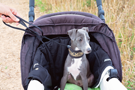Italian greyhound puppy riding in a pram with collar and lead - very spoiled pet