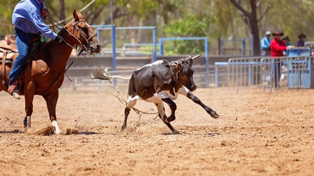 Animal being lassoed by cowboys in a team calf roping competition at an Australian country rodeo