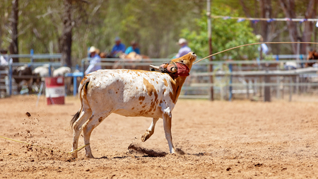 Animal being lassoed by cowboys in a team calf roping competition at an Australian country rodeo Stock Photo
