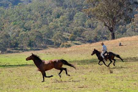 CORRYONG, VICTORIA, AUSTRALIA - APRIL 5TH 2019: The Man From Snowy River Bush Festival re-enactment, a rider on horseback chase wild horse on 5th April 2019 during the re-enactment of Banjo Pattersons epic poem.