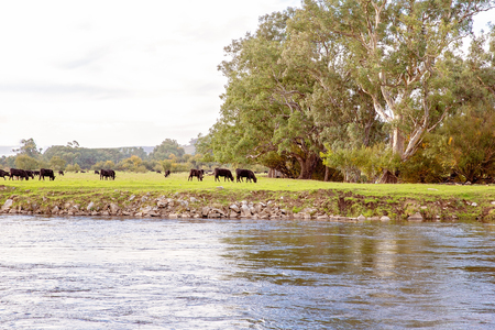 Cows grazing on pasture in a peaceful rural setting beside a river