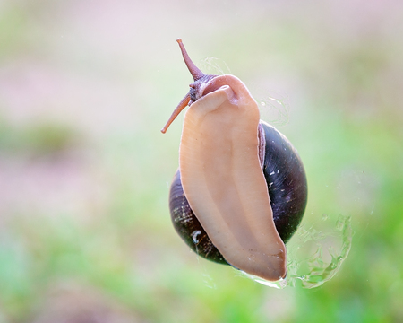 The soft slimy underbelly of a bi-colored snail showing its head and part of its shell, against a green grass background Imagens
