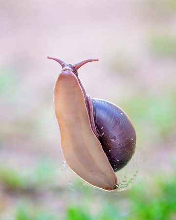 The soft slimy underbelly of a bi-colored snail showing its head and part of its shell, against a green grass background