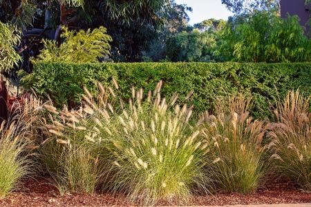 Hierbas que crecen silvestres frente a un seto recortado formal para darle un patrón de contraste al jardín Foto de archivo