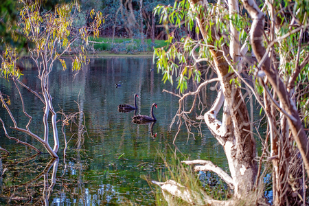 Birds and swans swimming peacefully on a beautiful Australian river bushland landscape Stock Photo