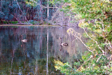 Swans swimming peacefully on a forested river in the pink glow of sunset