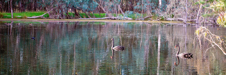 Swans swimming peacefully on a forested river in the pink glow just before sunset Stock Photo