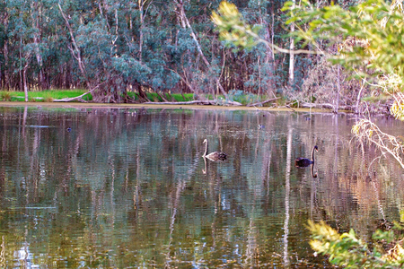 Swans and birds swimming peacefully on a river in the pink glow of sunrise in the Australian bush Stock Photo
