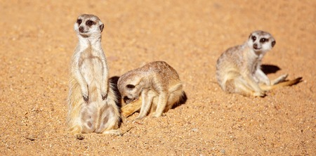 Inquisitive meerkats against a brown dirt background Stock Photo