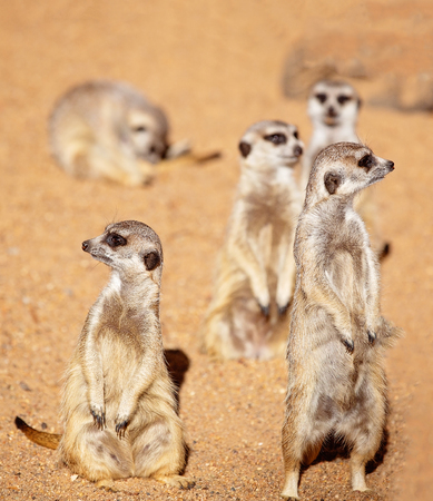 A group of cute and inquisitive meerkats against a brown dirt background