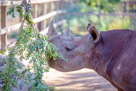 An endangered black rhinoceros standing in the shade, chewing on a green bush