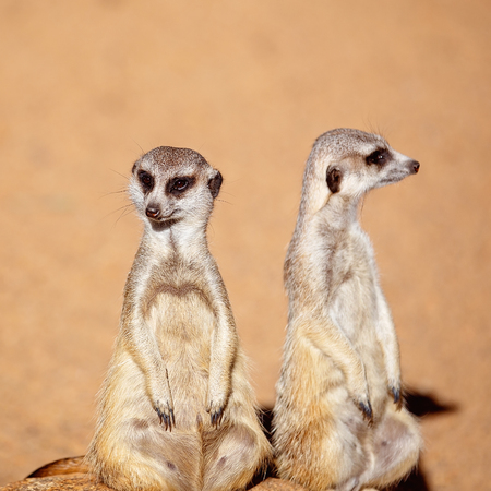 A pair of curious meerkats looking around isolated against a brown dirt background