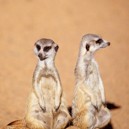 Un par de suricatas curiosos mirando a su alrededor aislado contra un fondo de tierra marrón